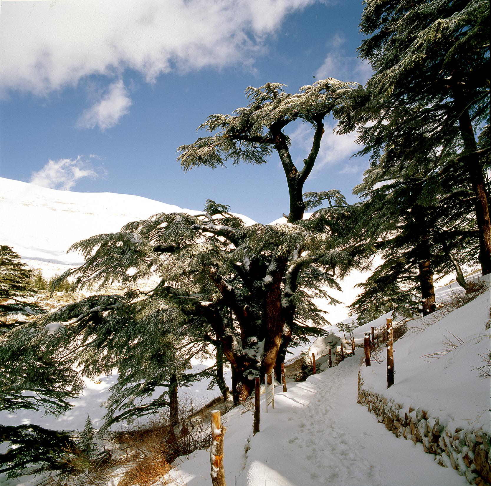 LIBAN-CEDRE