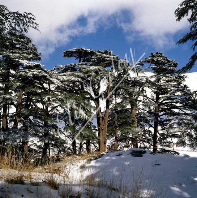 Liban Cèdres de Becharré